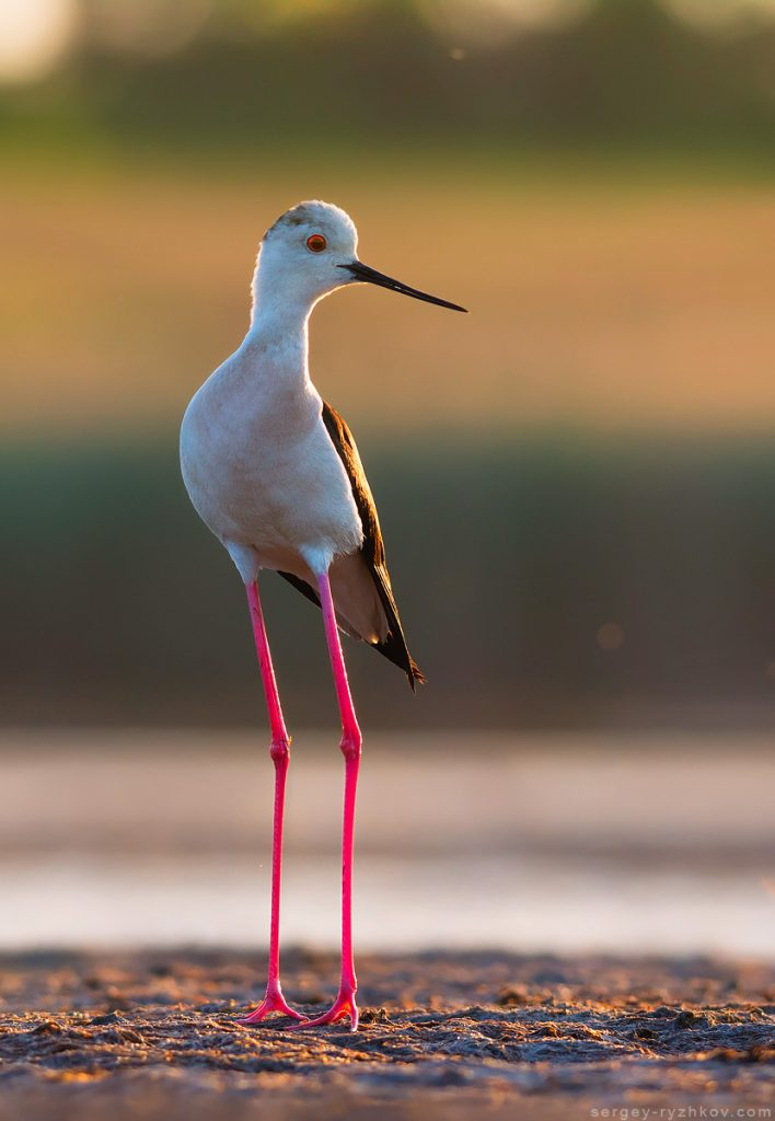 Black-winged stilt (Himantopus himantopus).Ukraine.