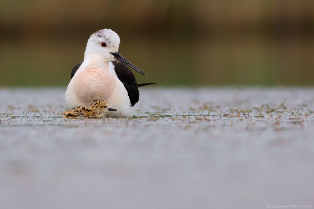 Black-winged stilt with chik