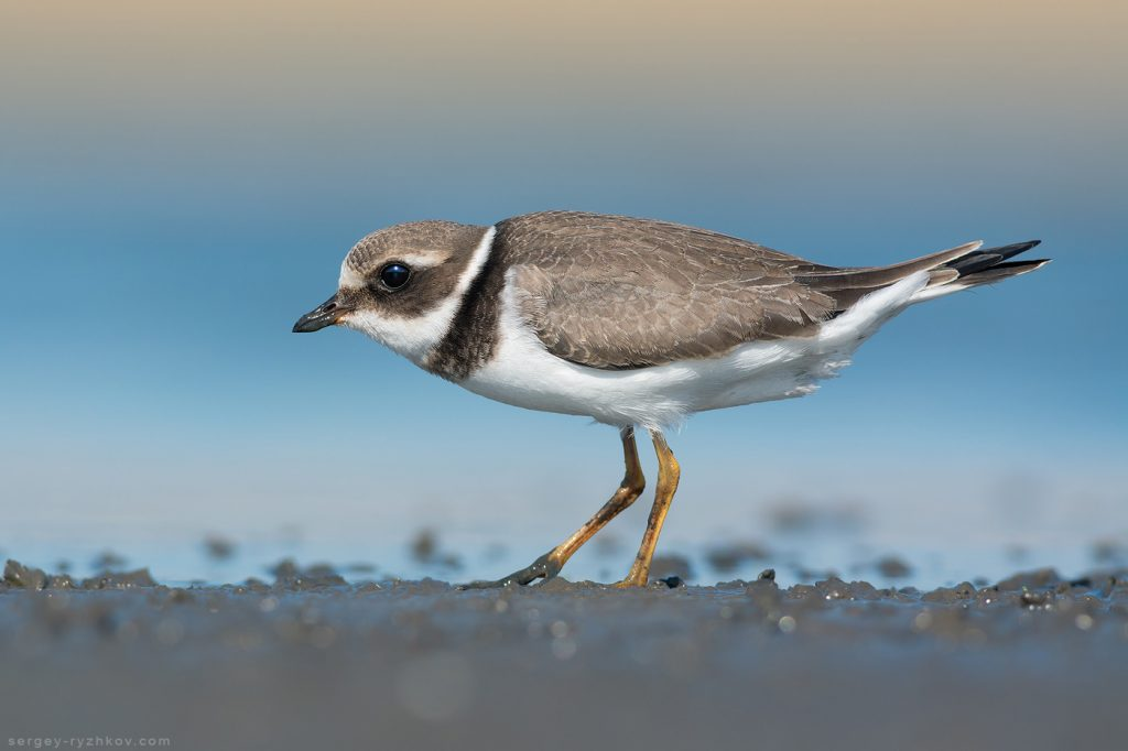 Common ringed plover juv