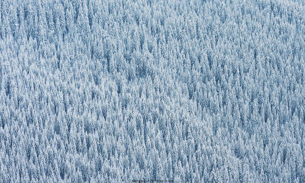 Смереки в снігу