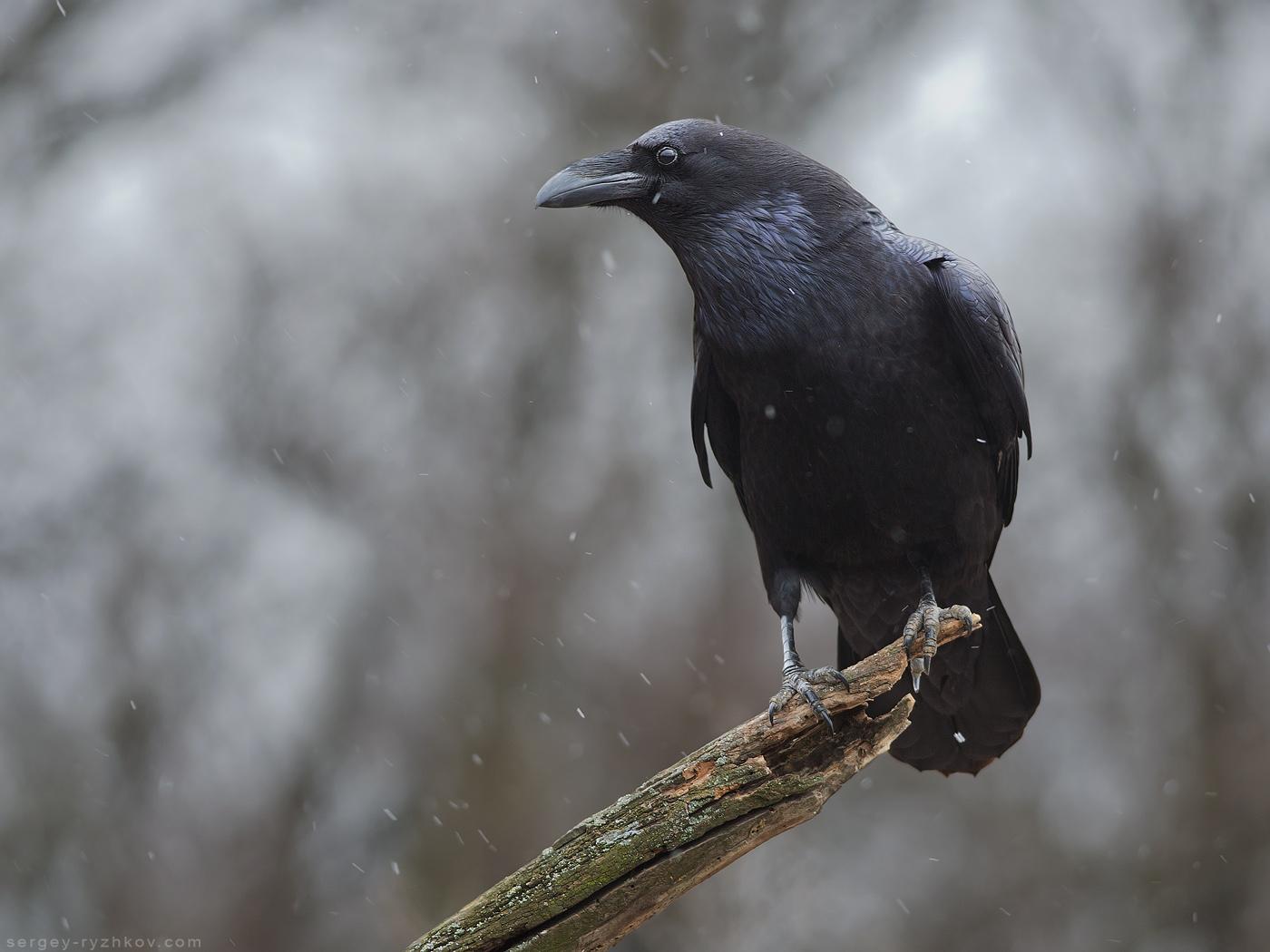 Крук, Raven - Corvus corax.