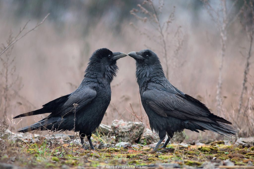 Шлюбні залицяння круків