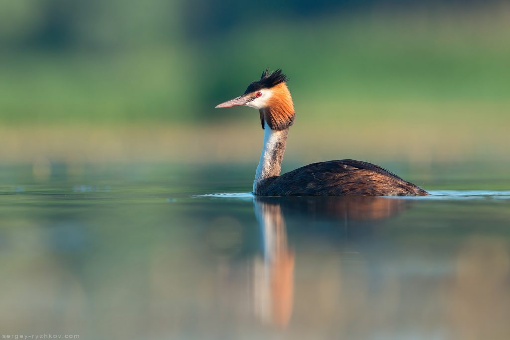 Чомга (Great crested grebe)
