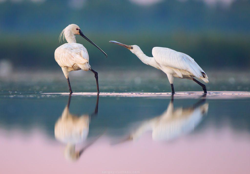 Молодий птах просить поживи в одного з батьків