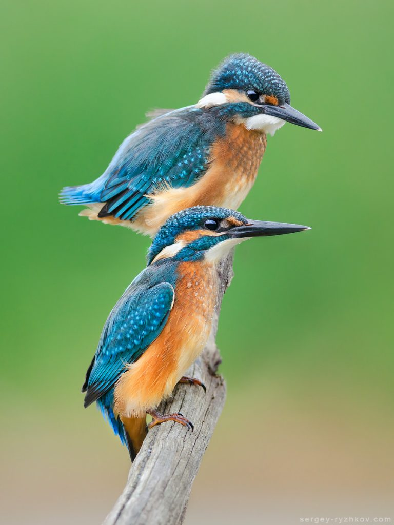 Два блакитних птаха