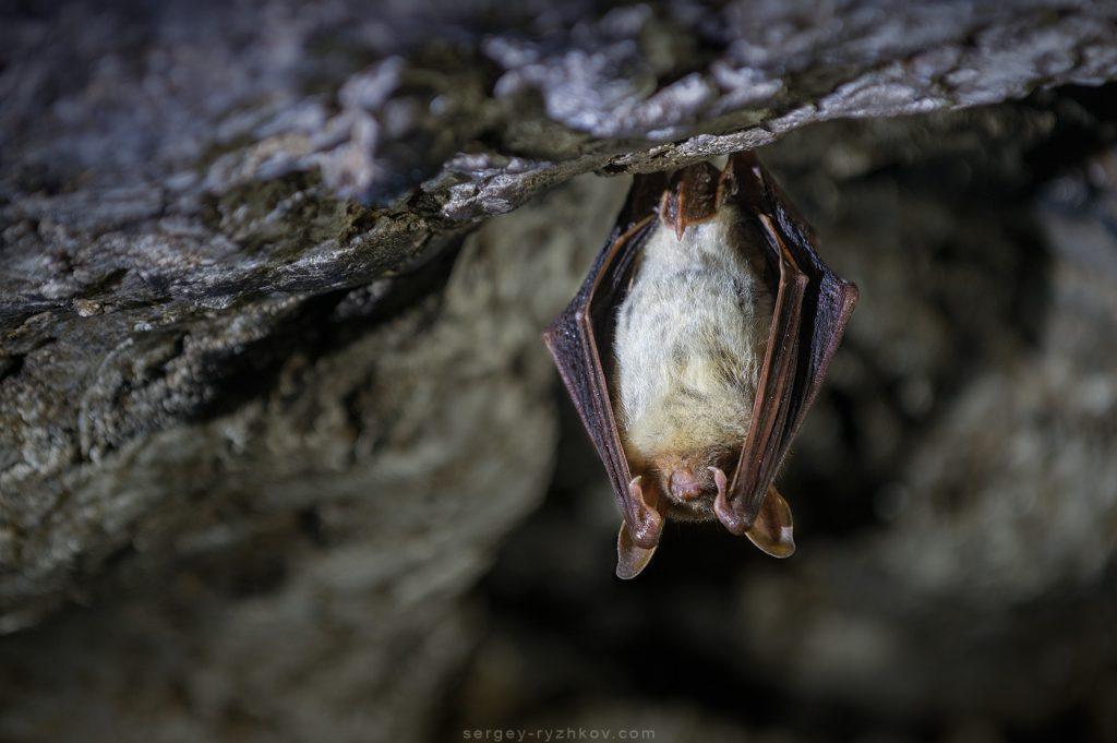 Кажан Нічниця велика, Greater mouse-eared bat (Myotis myotis) у зимовій сплячці