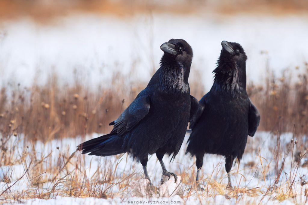 Двоє круків зимою. Couple of ravens