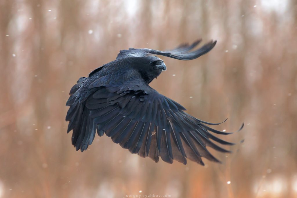Птах у польоті. Raven in flight
