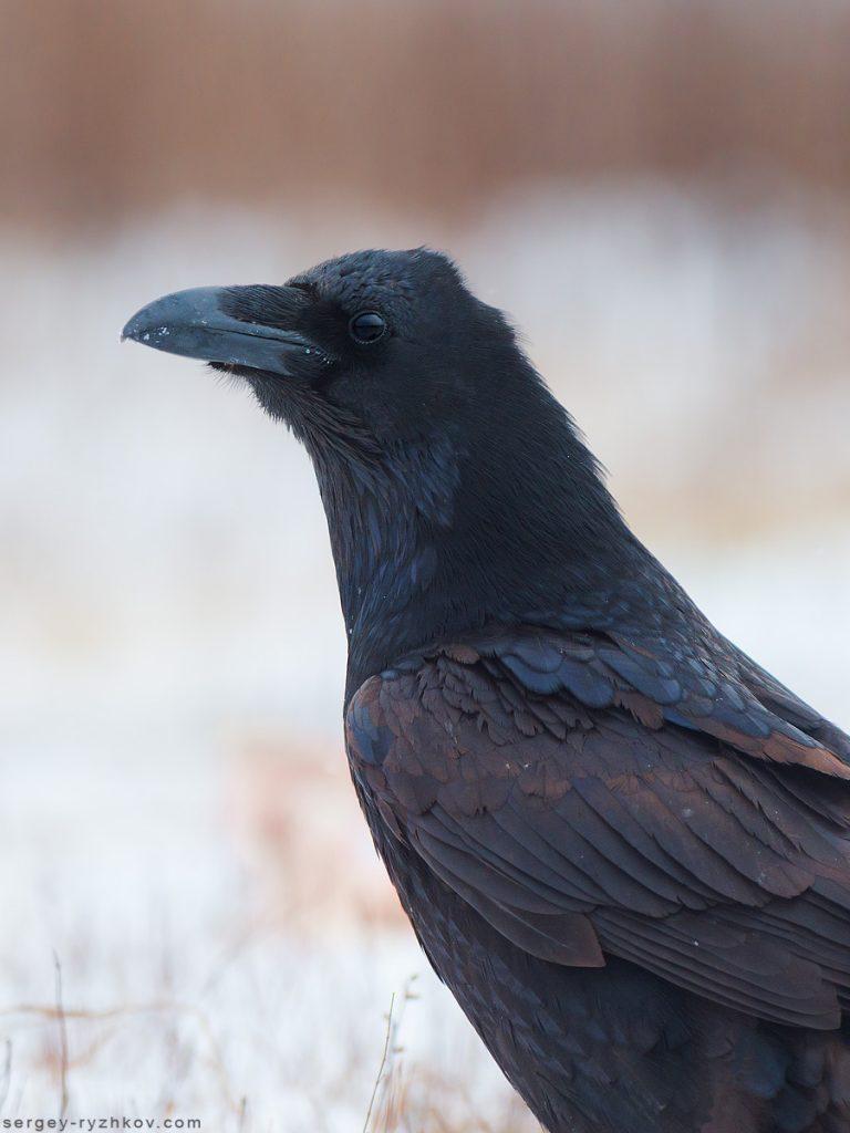 Крук крупним планом. Raven portrait