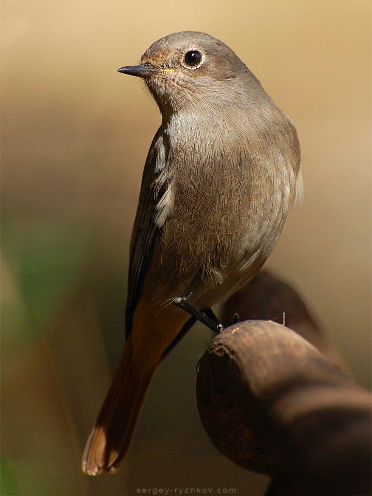 Black Redstart female