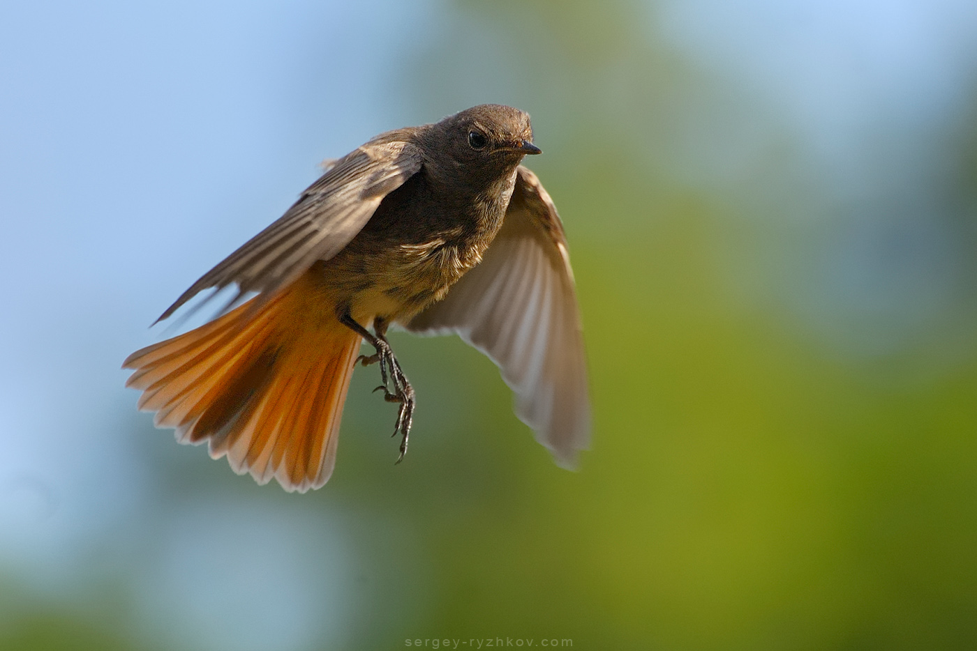 Black redstart in flight