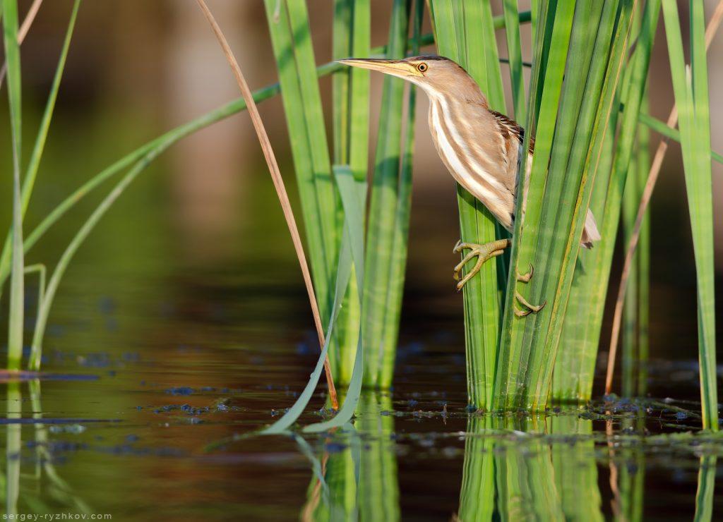 Little bittern (Ixobrychus minutus) perched amongst reeds