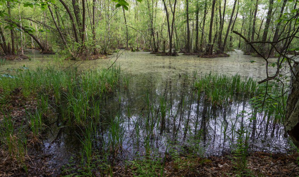 Заболочена місцевість в лісі та дерева вільхи