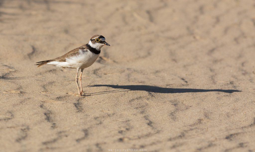 Пісочник малий стоїть на піску (Charadrius dubius)