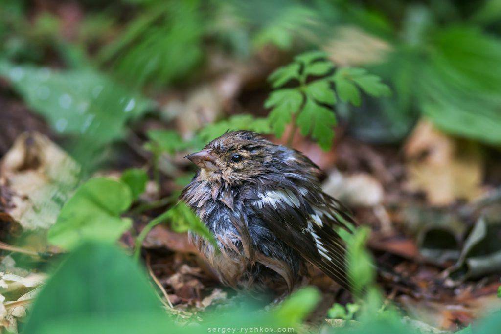 Зяблик, Common chaffinch (Fringilla coelebs)