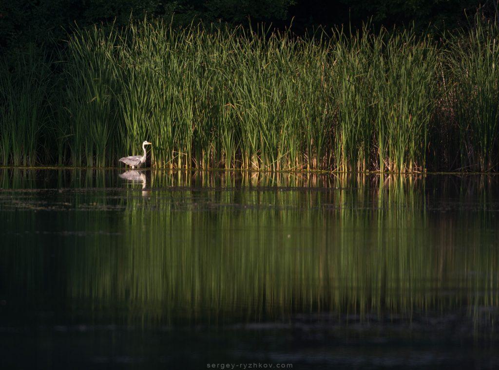Чапля сіра на лісовому озері (Ardea cinerea)