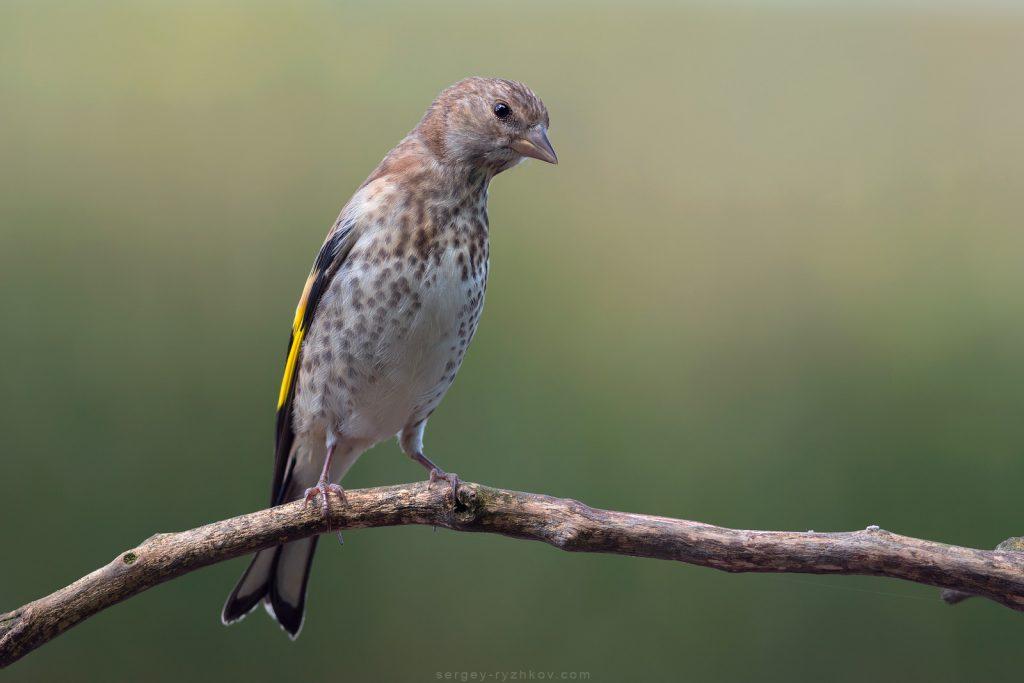 Молодий щиглик, Juvenile Goldfinch (Carduelis carduelis)