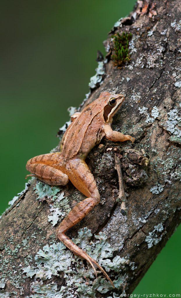 Жаба гостроморда, Moor frog (Rana arvalis)