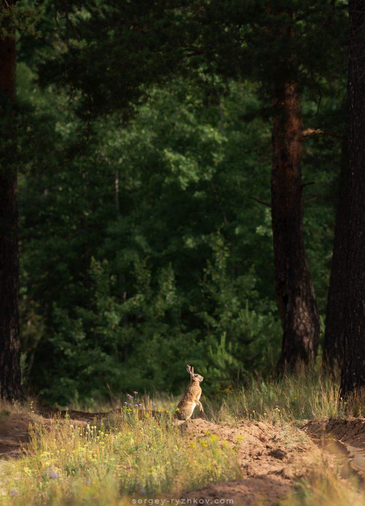 Заєць сірий на лісові дорозі