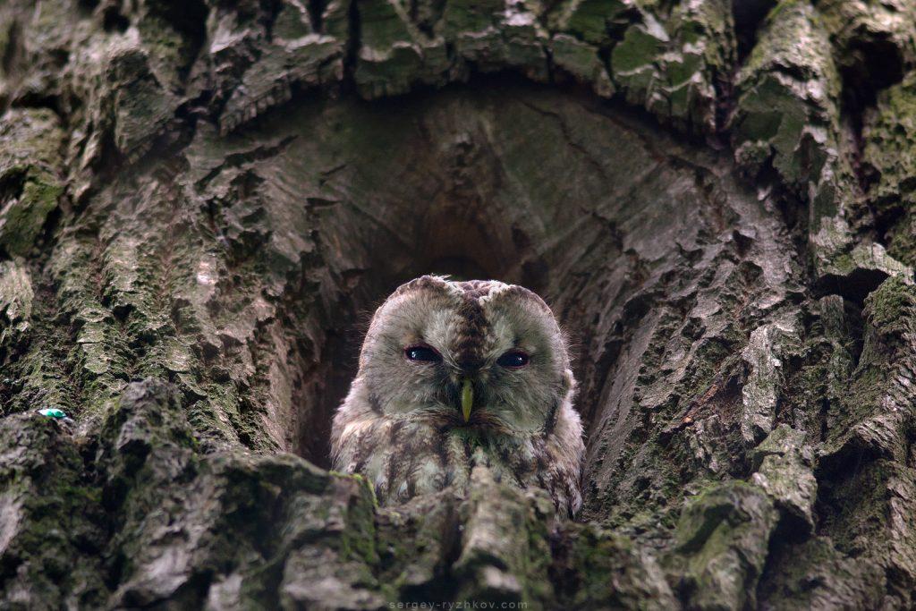 Сіра сова вдень ховається в дуплі старого дуба