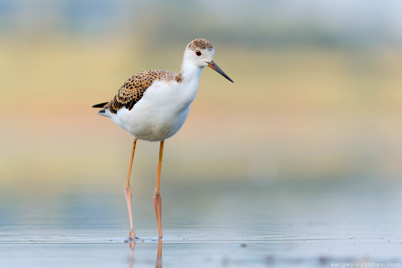 The black-winged stilt, common stilt, or pied stilt (Himantopus himantopus) is a widely distributed very long-legged wader in the avocet and stilt family (Recurvirostridae). Photo was taken in Ukraine.