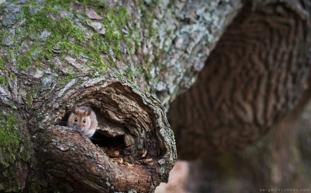 Yellow-necked mouse on branch of old oak tree (Apodemus flavicollis)