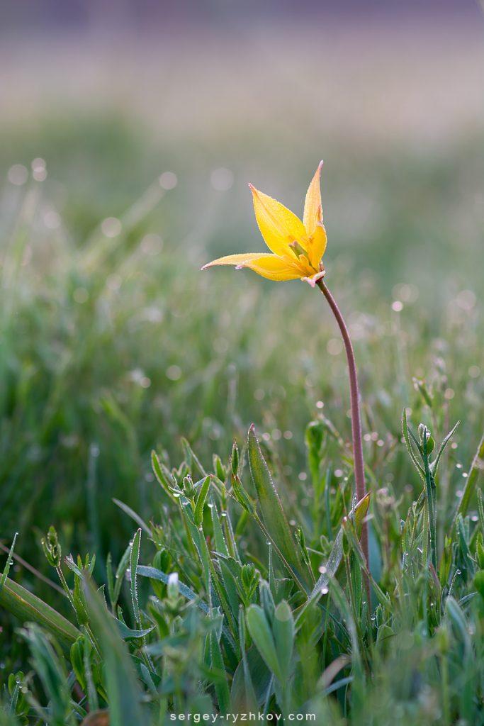 Жовтий дикий тюльпан Біберштейна - Tulipa quercetorum Klokov