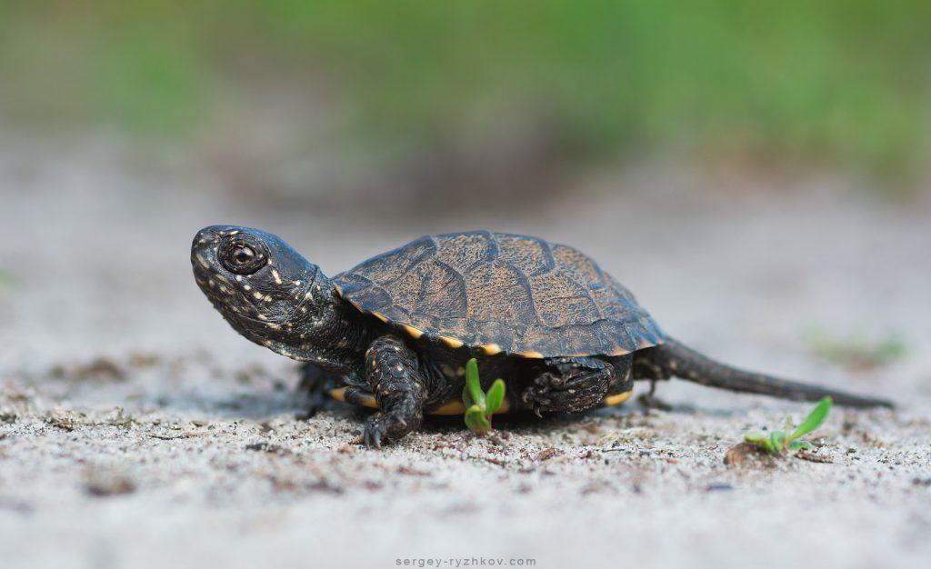 Маленька болотна черепаха (Emys orbicularis)