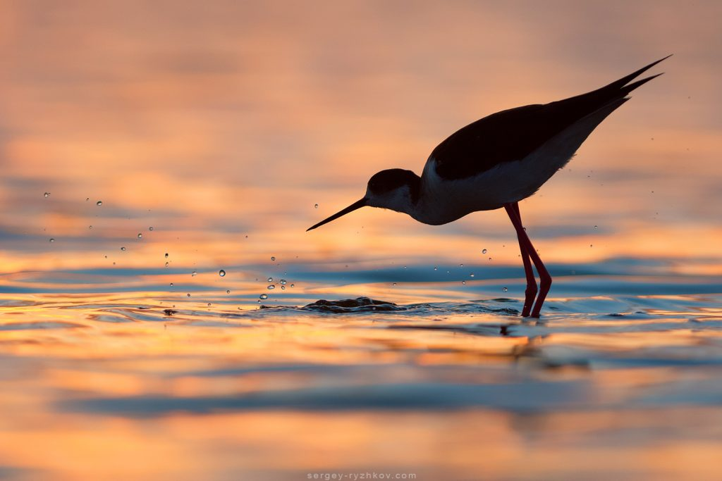 Black-winged Stilt feeding at sunrise. Ukraine