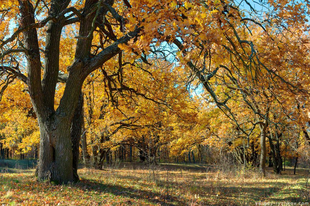 Жовті осінні листя старих дубів