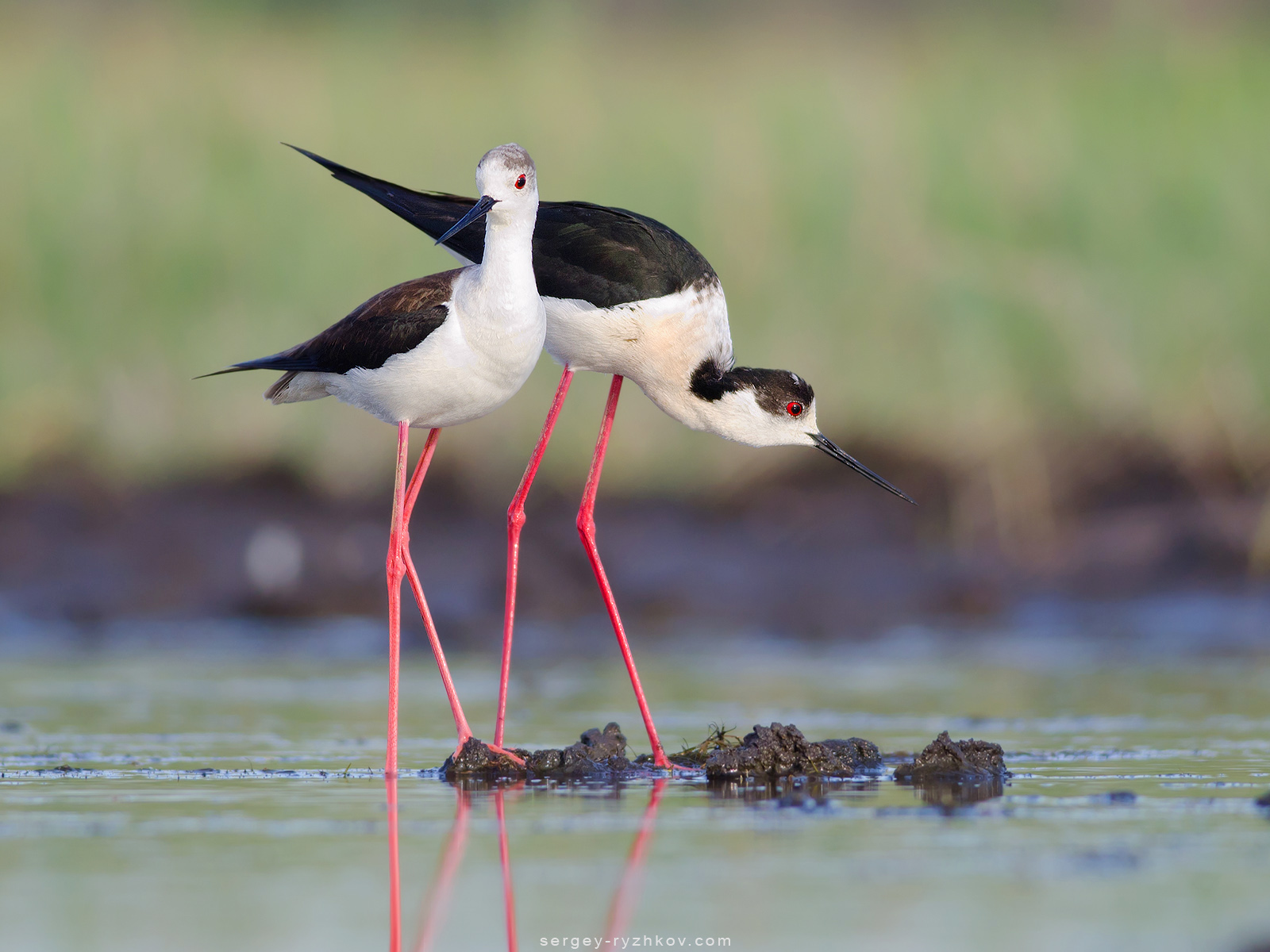 Pair of black-winged stilts