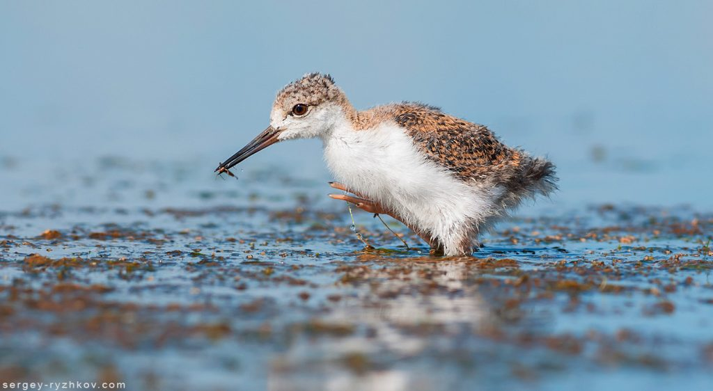 Black-winged stilt chick (Himantopus himantopus) with insect prey.