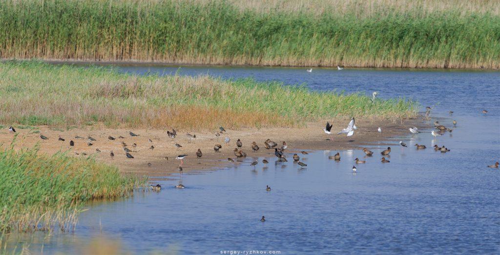 Багато птахів відпочивають на березі водойми