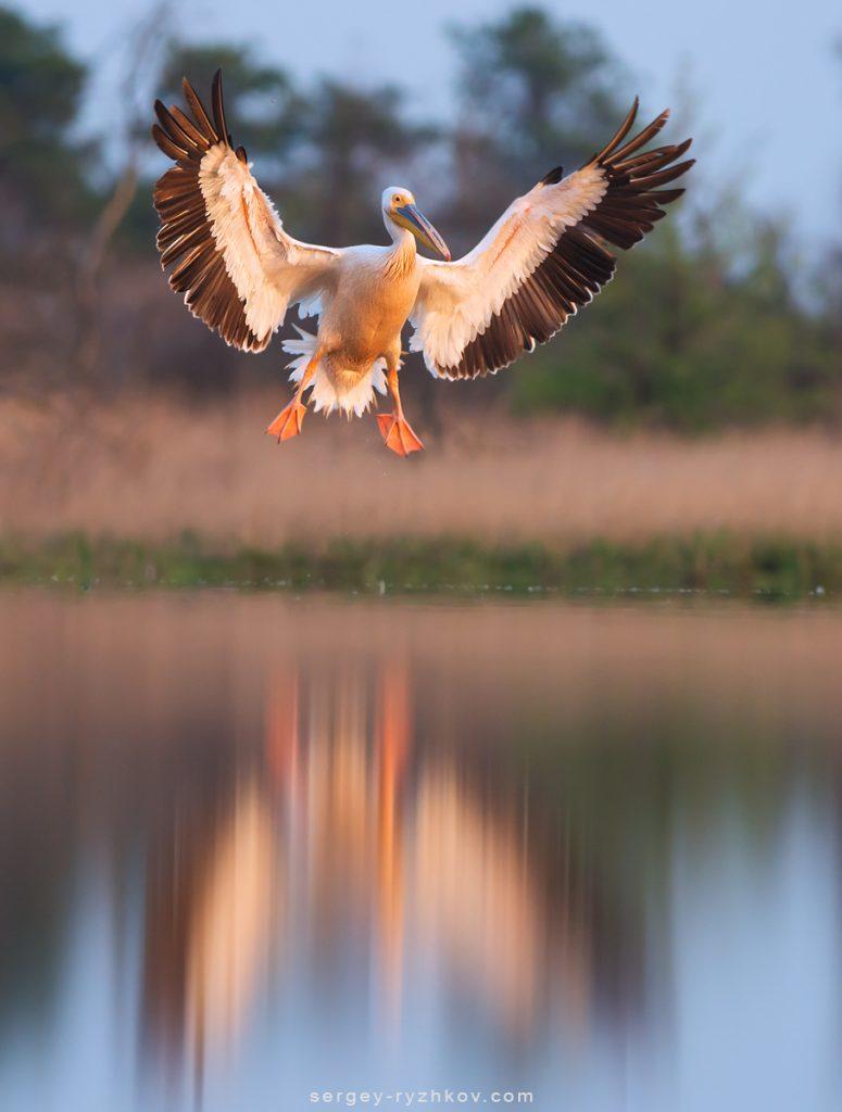 Рожевий пелікан у повітрі