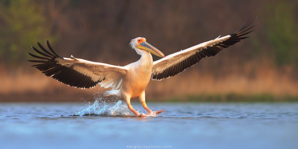 Рожевий пелікан, Great white pelican in flight