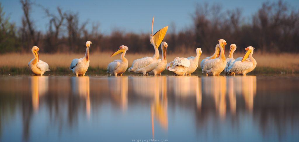 Група пеліканів у вранішньому світлі