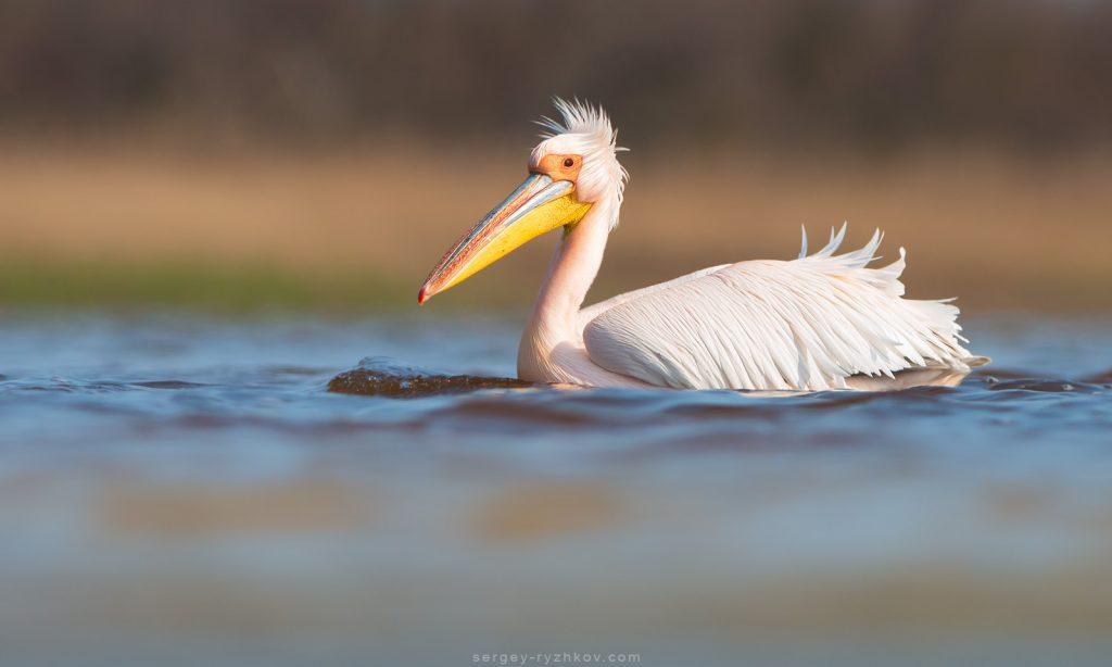 Рожевий пелікан - Pelecanus onocrotalus