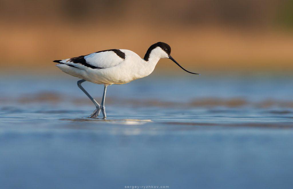 Чоботар або шилодзьобка (Recurvirostra avosetta)