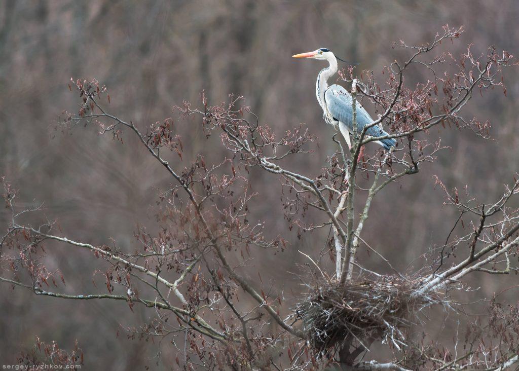 """Чапля біля гнізда на дереві в колонії в НПП """"Слобожанський"""""""