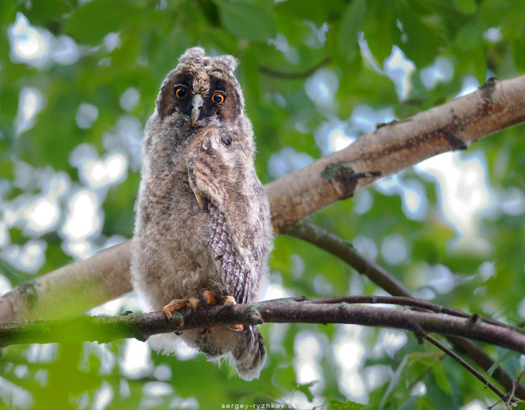 Пухове пташеня сови сидить на дереві
