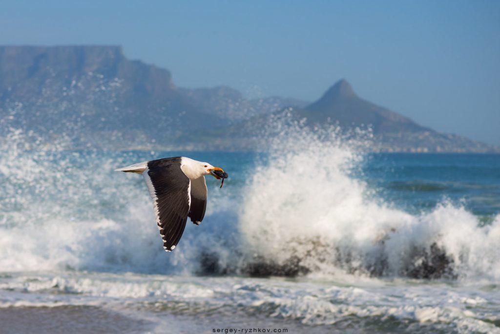 Домініканський мартин (Kelp Gull) на фоні океану та гори Лайонсхед