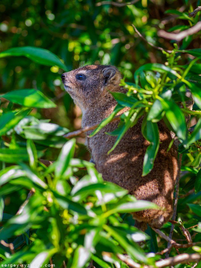 Капський даман, Rock hyrax (Procavia capensis)