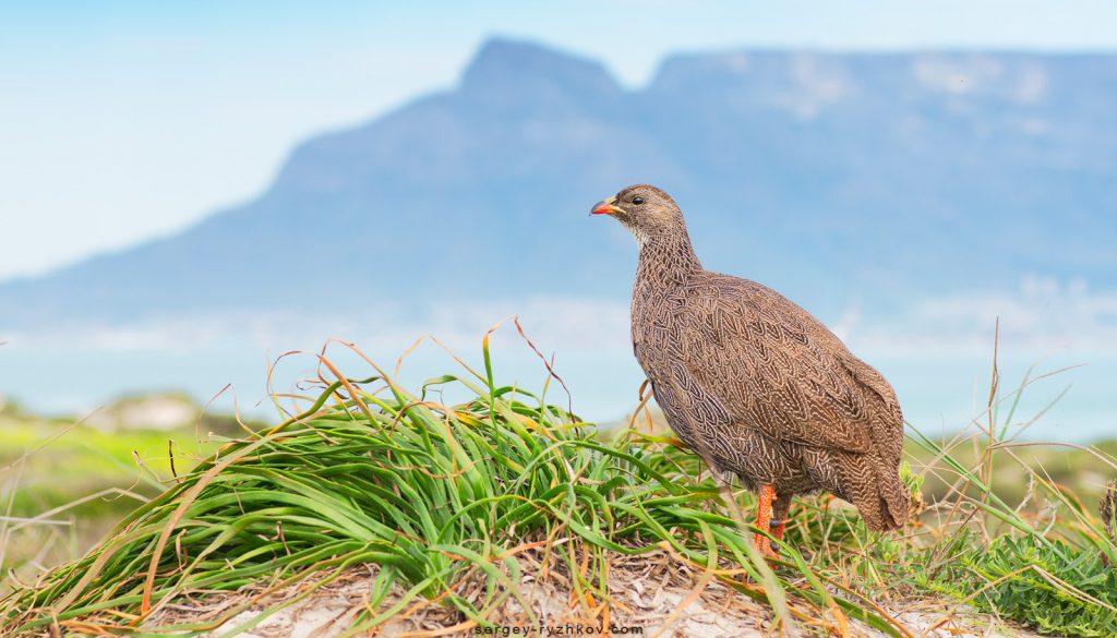 Птах на фоні Столової гори (Table Mountain)