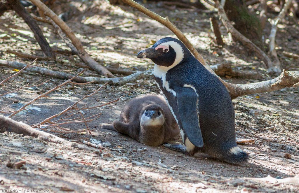 Пінгвін з пташеням серед чагарників