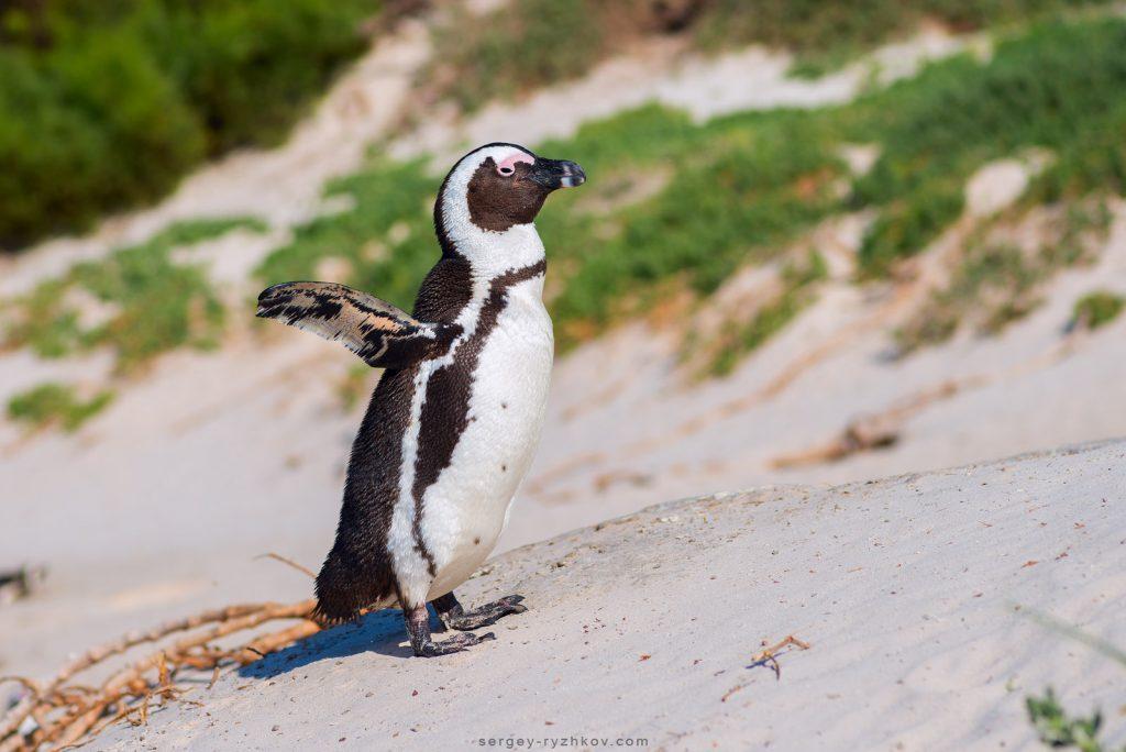 Африканський пінгвін на пляжі