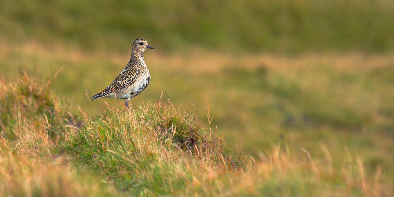 Ісландія. Птахи