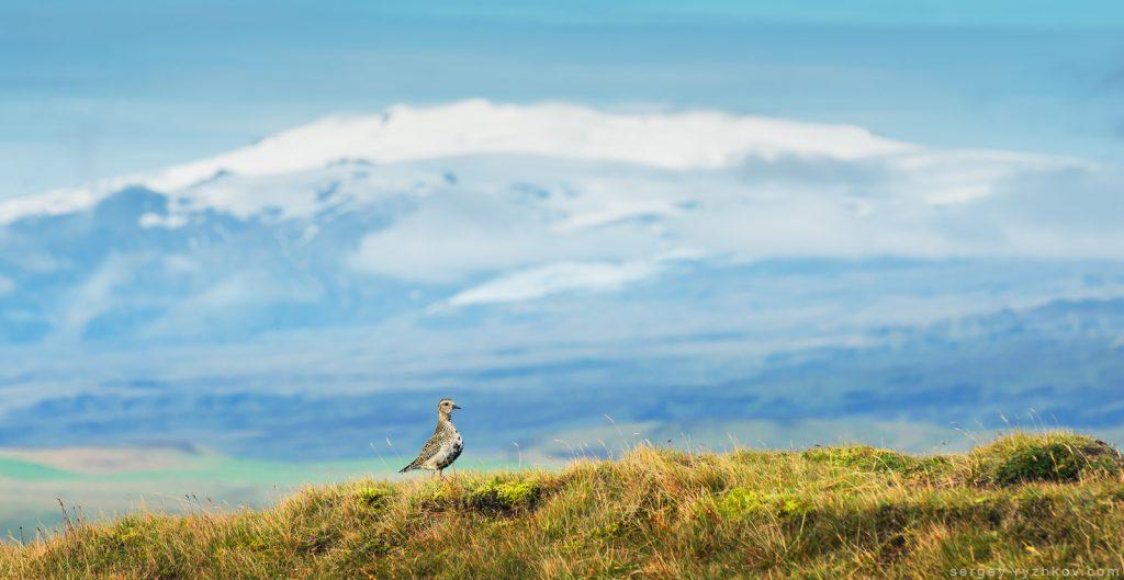 Сивка звичайна, Golden plover (Pluvialis apricaria). Iceland