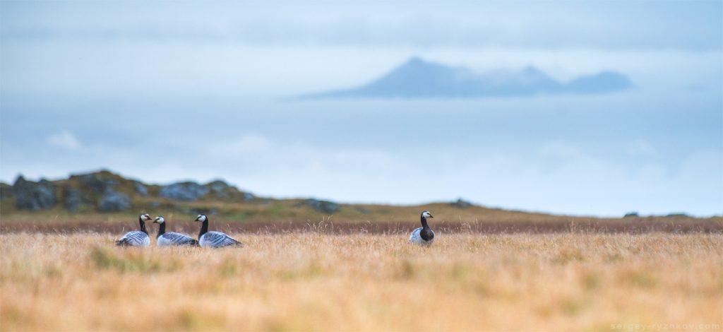 Білощокі казарки, Barnacle goose (Branta leucopsis). Stokksness, Iceland