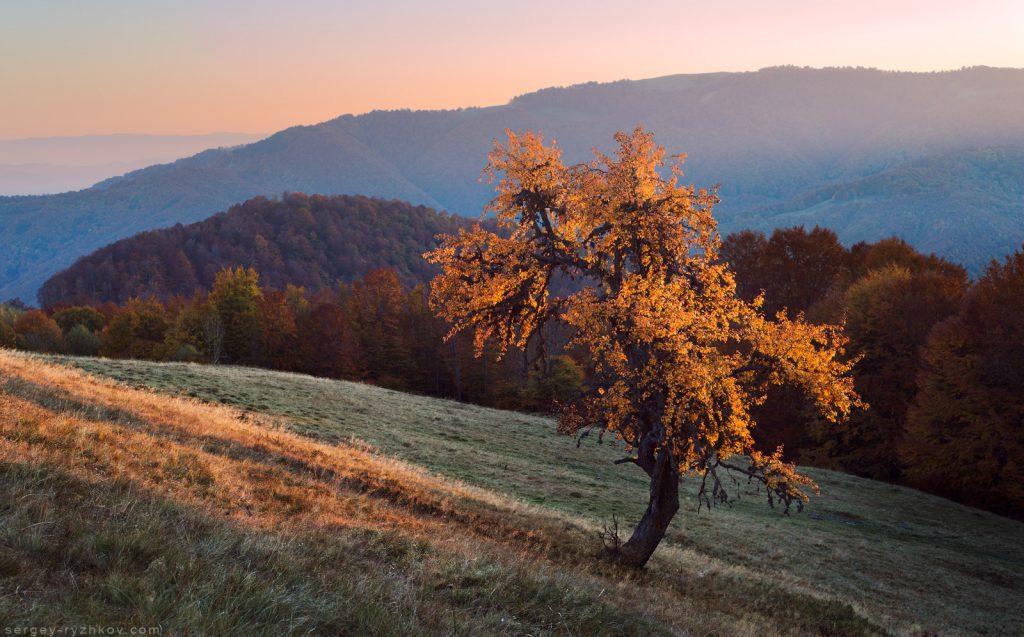 Дерево груші на полонині