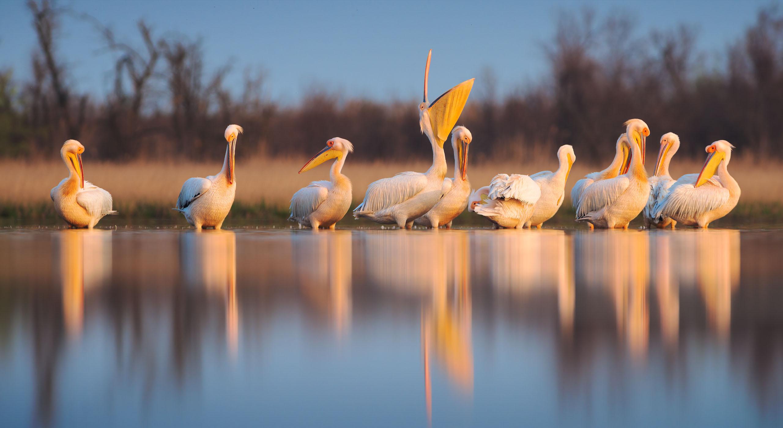 Great white pelicans on Kinburn